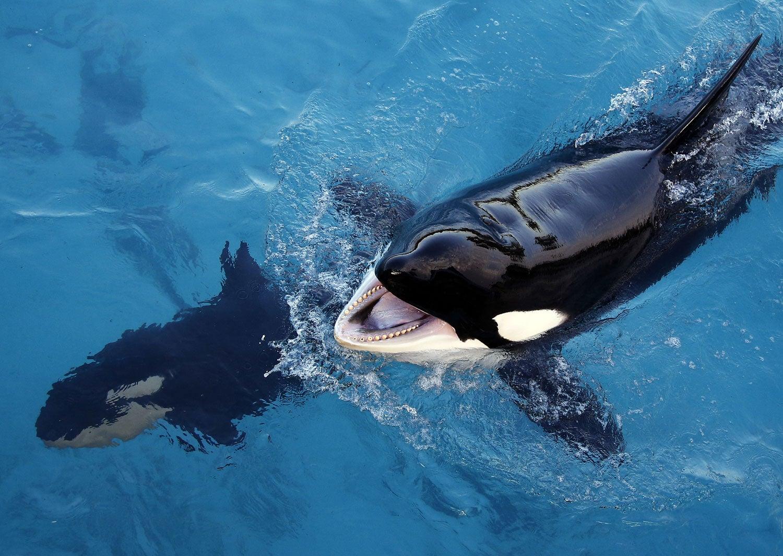 Mamíferos imitam sons humanos — Orcas como papagaios
