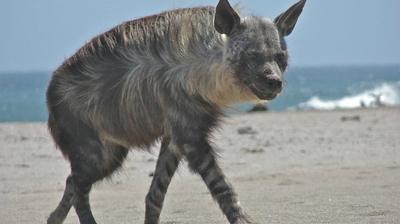 Play - O Lobo da Praia