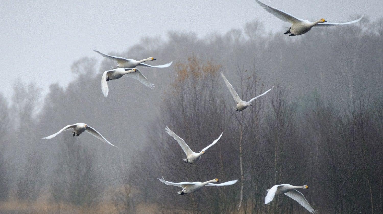 O Mistério do Desaparecimento dos Cisnes