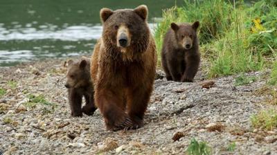 Play - Os Ursos de Kamchatka - A Vida Começa