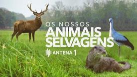 """Os Nossos Animais Selvagens - Na rubrica """"Os Nossos Animais Selvagens"""" vamos ao encontro da muita fauna selvagem que habita o nosso território. Calcorreamos as serras, montanhas, estepes ou zonas húmidas, à procura de vida selvagem que pode ser avistada em Portugal. Os grandes e os p"""