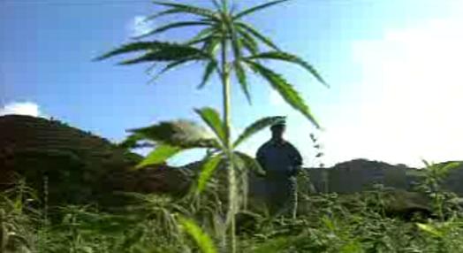 Cannabis, Cânhamo ou Liamba? – Parte I