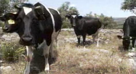 Ladrões de gado em Portugal