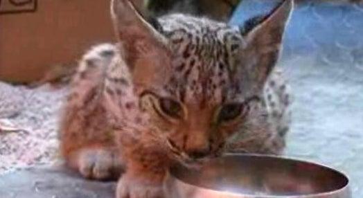 Lynx Pardinus – Lynx Perdidus? – Parte I