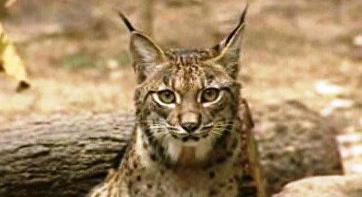 Lynx Pardinus – Lynx Perdidus? – Parte II