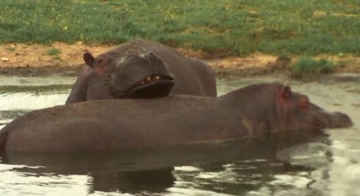 O Hipopótamo