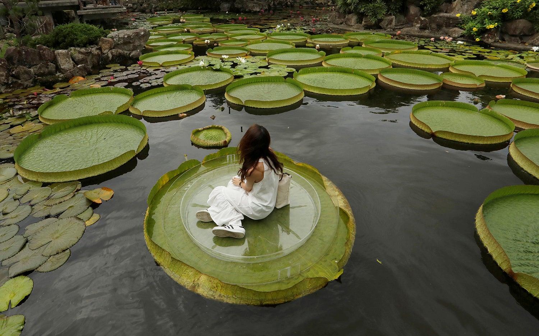 Nenúfares gigantes em Taiwan /Tyrone Siu - Reuters