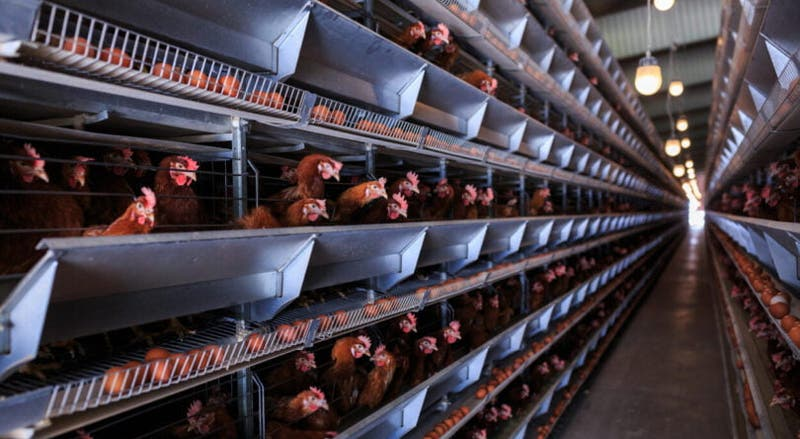 Europa quer eliminar jaulas na pecuária