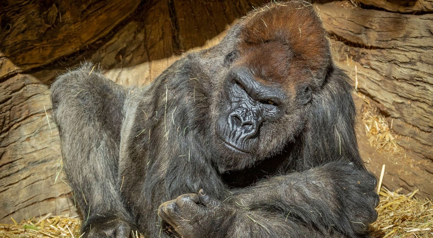 Os gorilas-das-montanhas estão identificados como uma espécie em risco de extinção. Restam apenas 1063 exemplares em meio selvagem.