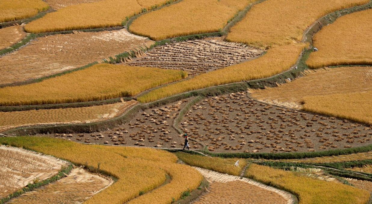 Índia, campos de arroz em setembro | Danish Ismail - Reuters