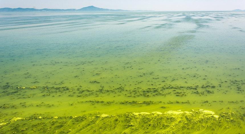 Algas verdes azuis cobrem a superfície do mar perto da costa