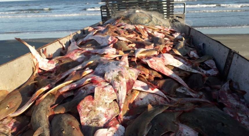 Ambientalistas acusam Portugal de pescar raia em excesso