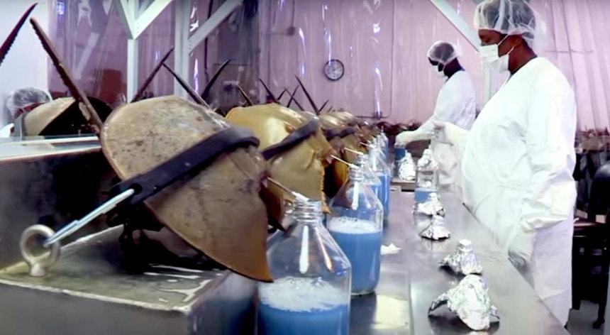 Esta é a forma como é retirado o sangue aos caranguejos-ferradura
