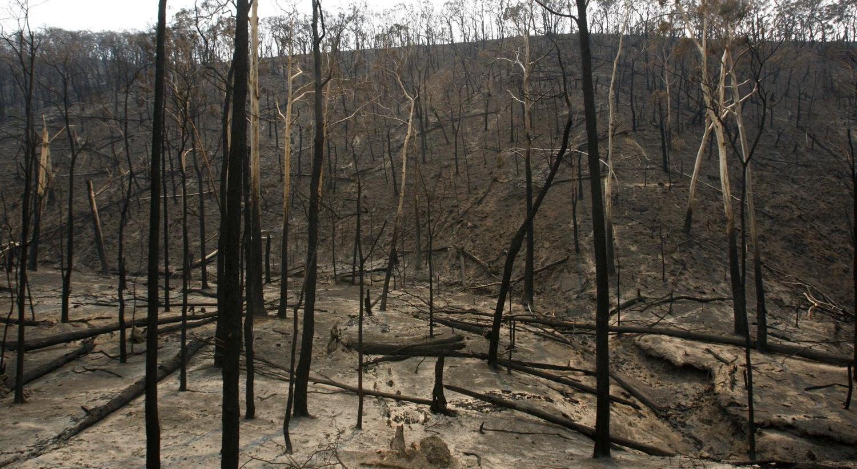 Resultado de imagem para Rebentos de eucaliptos já despontam na área ardida