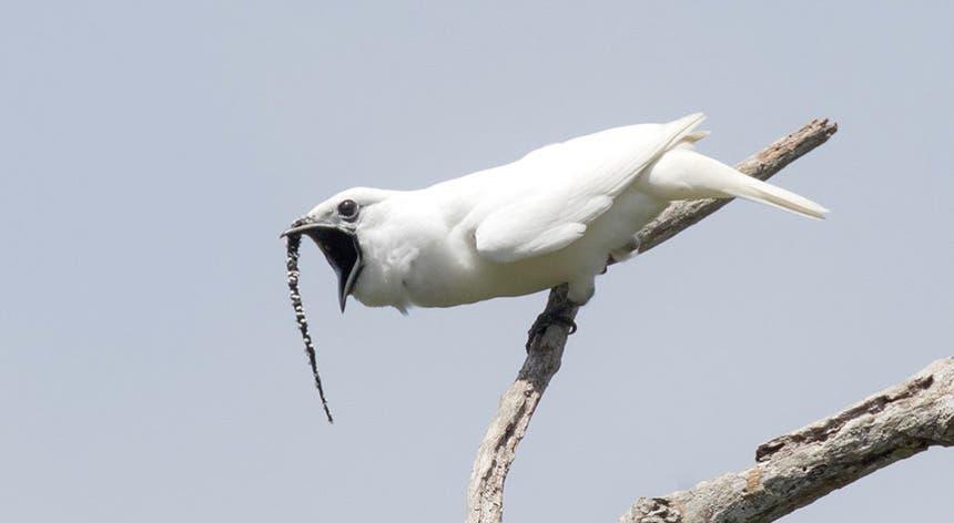 """Tem o nome de """"White Bell Bird"""" e faz jus ao nome que têm."""