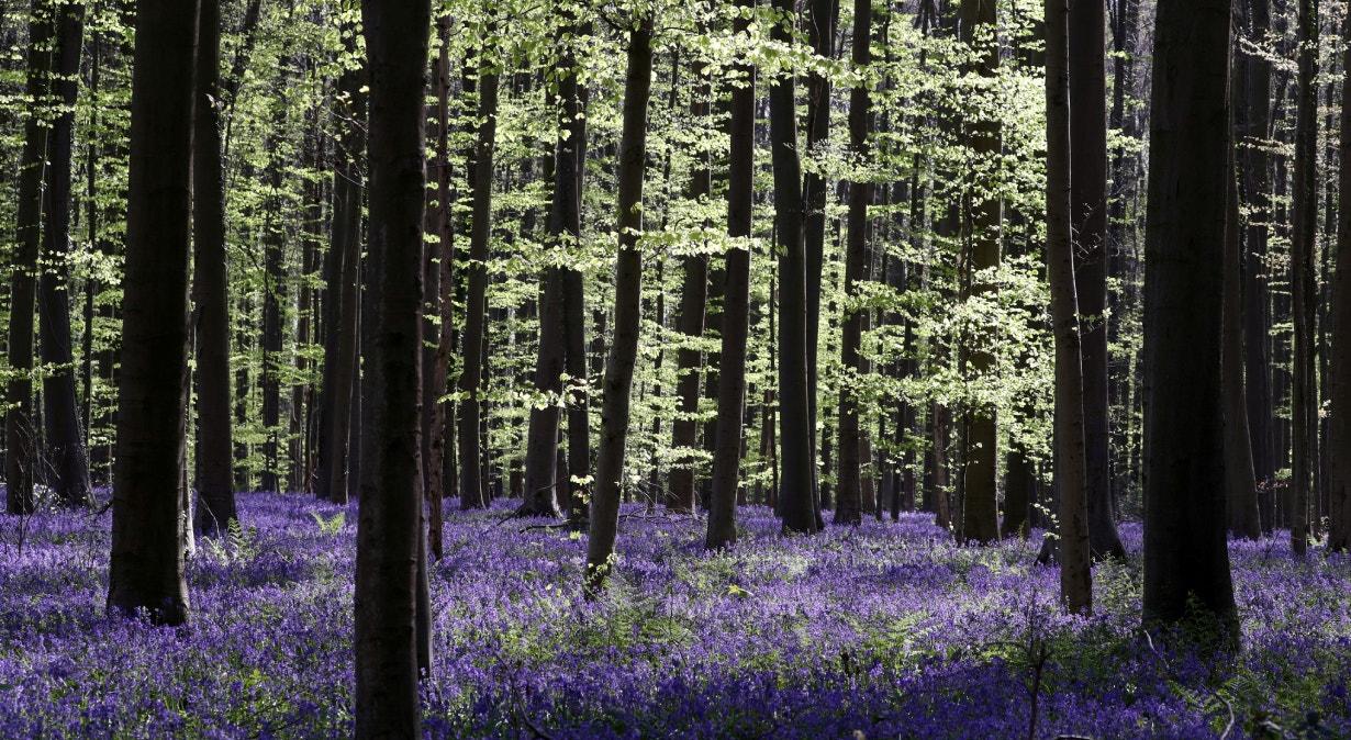 Bélgica, floresta azul em abril | Yves Herman - Reuters