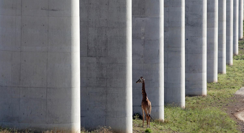 Uma girafa caminha perto da linha ferroviária elevada que permite a circulação de animais abaixo da linha, no parque nacional de Nairobi no Quénia. 16 de outrubro 2019 / Njeri Mwangi - Reuters