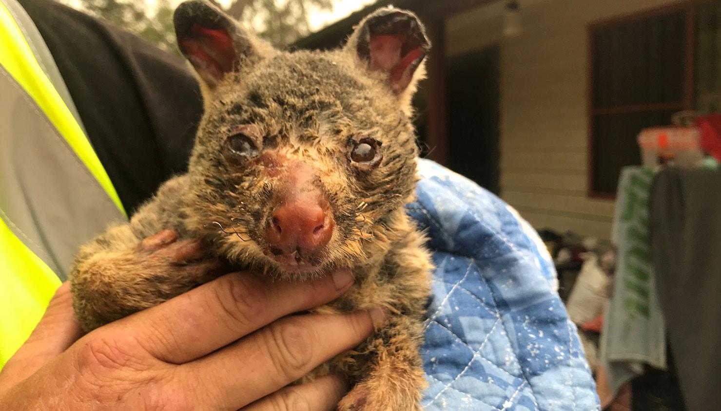 Gambá com queimaduras graves resgatado perto das Montanhas Azuis australianas | Jill Gralow - Reuters