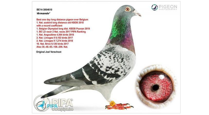 Imagem do Armando, o pombo que foi vendido em leilão