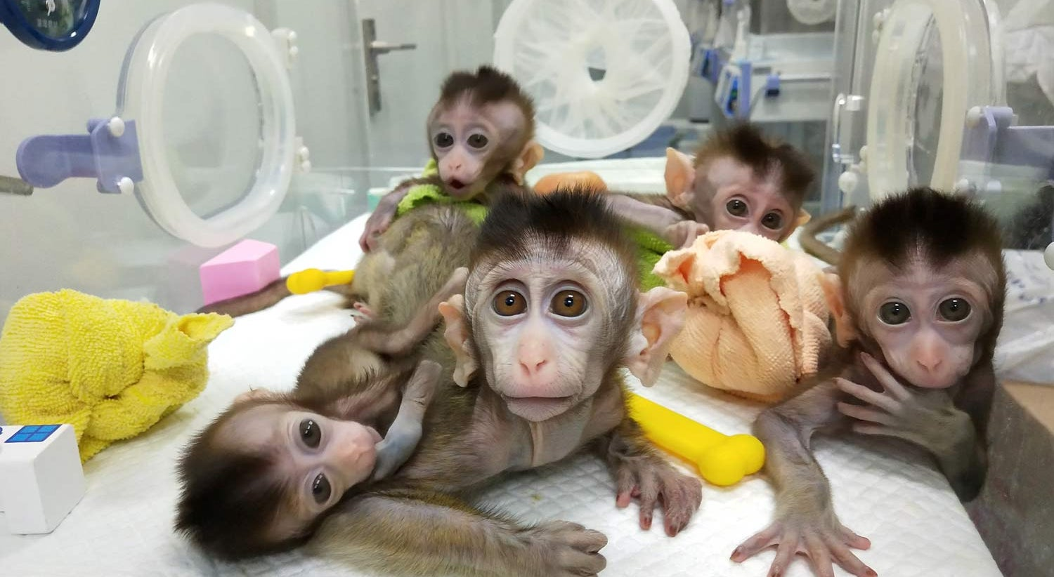 China clona cinco vezes macaco geneticamente modificado