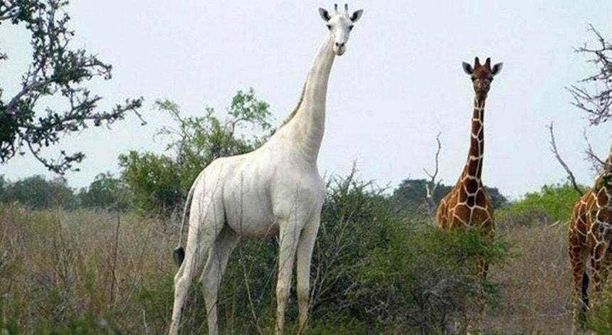 Única girafa branca conhecida