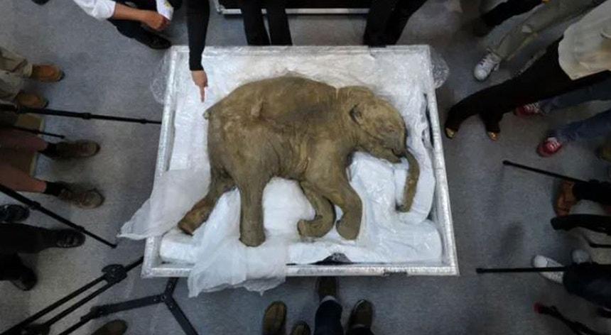 A ideia dos cientistas é criar um híbrido elefante-mamute.