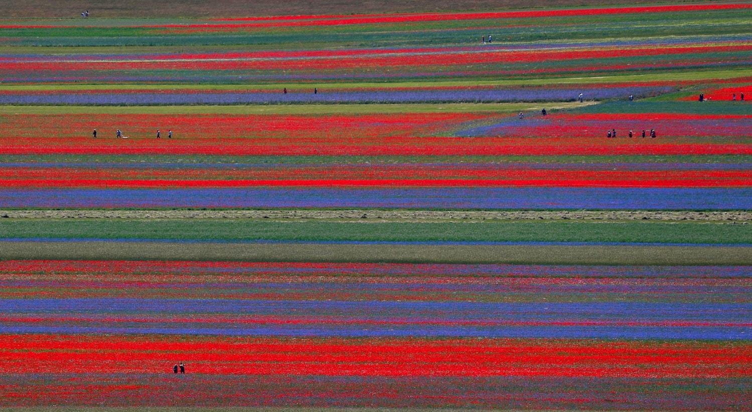 Itália, campos de flores em julho em Castelluccio | Guglielmo Mangiapane - Reuters