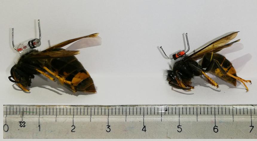 À esquerda, vespa fundadora, à direita vespa obreira de segunda geração