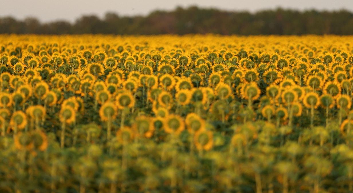 Canadá, campos de girassóis em agosto, perto de Beausejour | Shannon VanRaes - Reuters