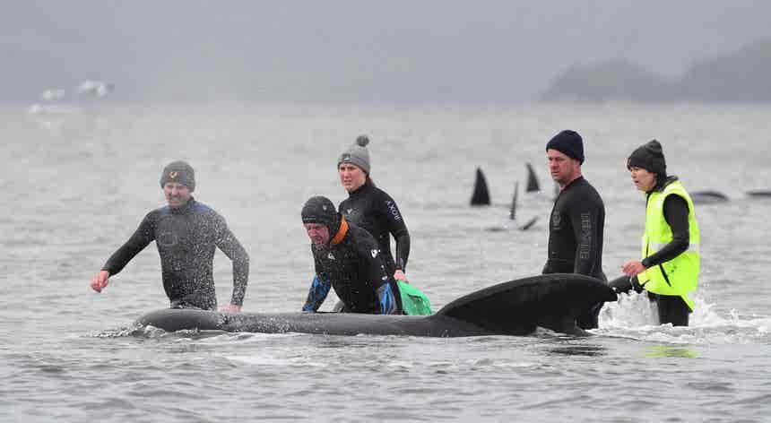 Salvamento de baleias encalhadas
