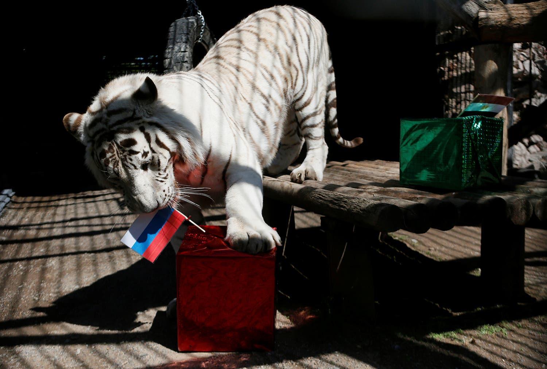 Khan o tigre-de-bengala branco também previu a vitória da Rússia sob o Egito /Foto: Ilya Naymushin - Reuters