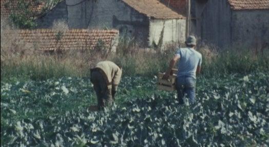 Otimização da Produção de Hortofrutícolas para a Indústria de Congelação – I